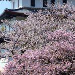 令和最初の桜は北海道で!GWのお花見イベント2選!