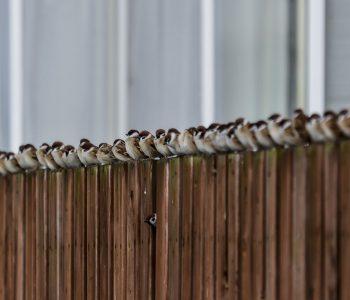 【北海道ミライノート×Domingo】喜茂別町の一列に並んだスズメなど