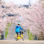 【北海道ミライノート×Domingo】岩内神社の桜並木 など