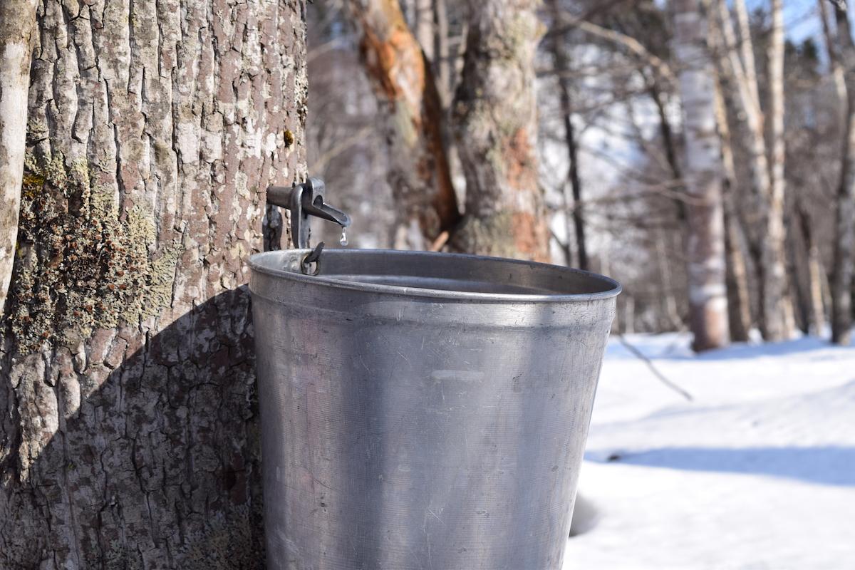バケツをかけるとポタポタと滴る樹液をためておける