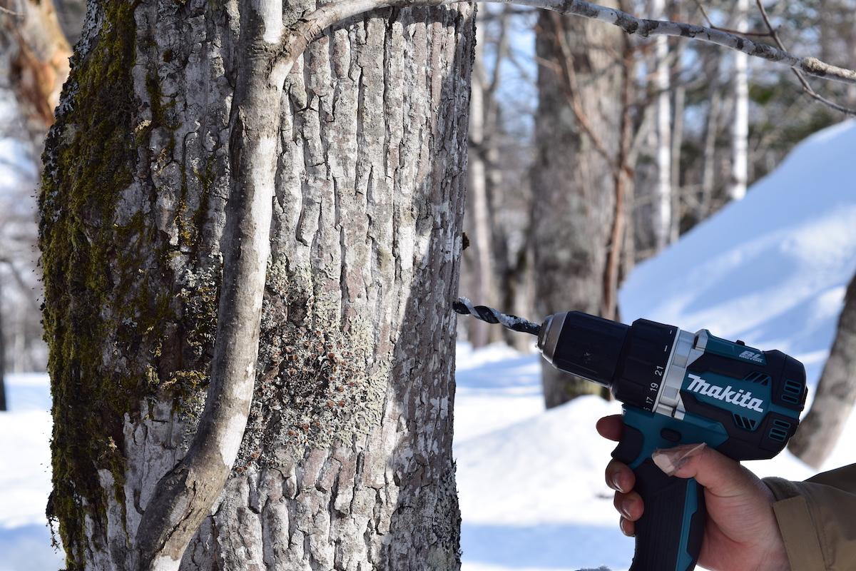 イタヤカエデの木の幹にドリルで穴を開ける