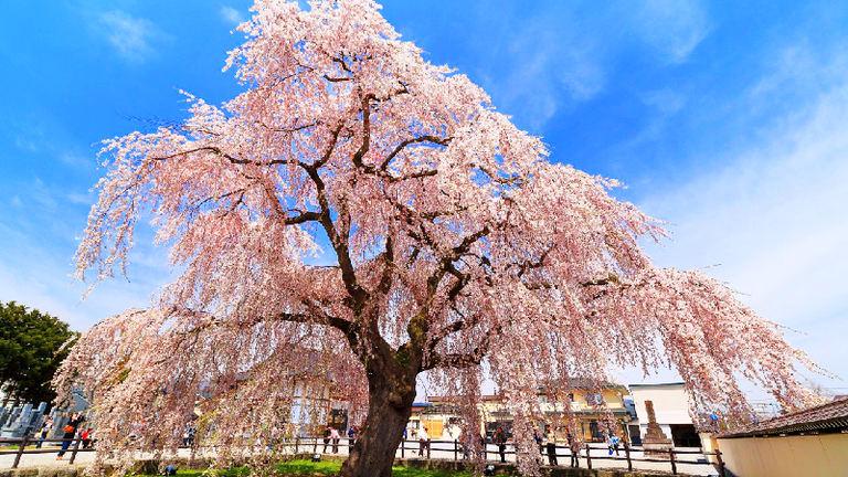 北斗桜回廊