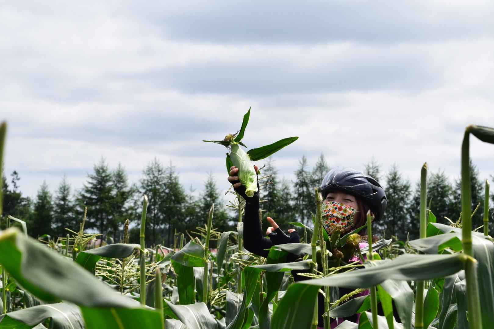 トウキビ畑の中で収穫